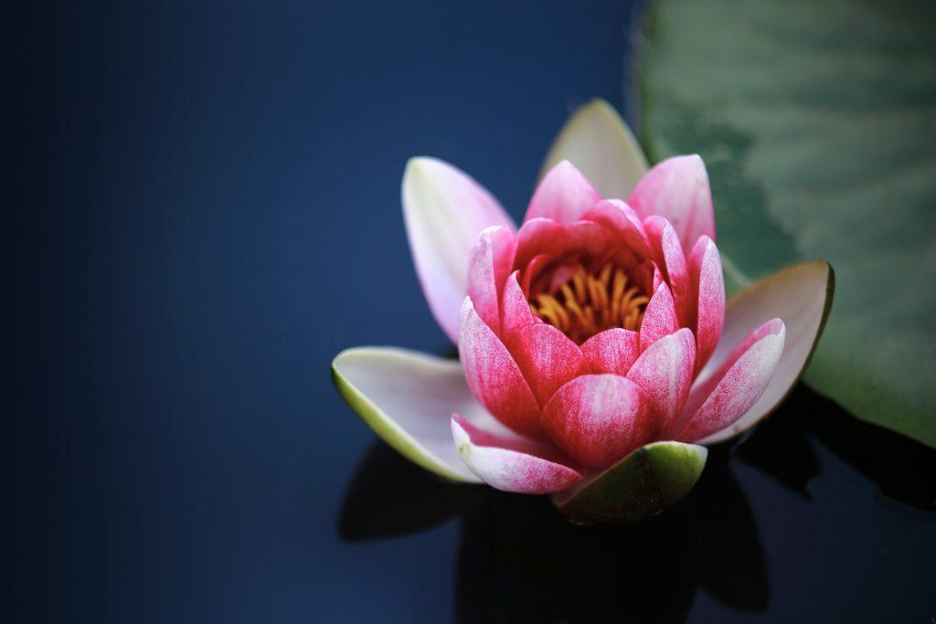 Лотос вырастает из грязи, а потом болтается на поверхности воды - его корни погружены в воду, а цветок ничто не затрагивает